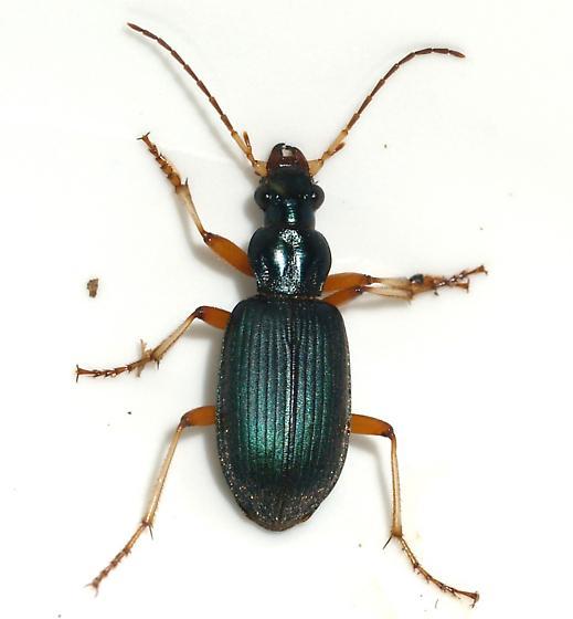carabid - Chlaenius leucoscelis