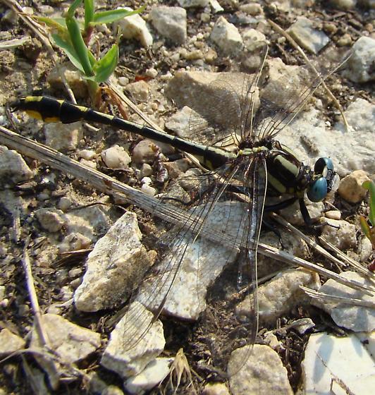 clubtail - Phanogomphus graslinellus