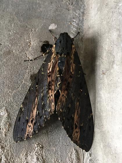 Spins Moth - Neococytius Cluentius - Neococytius cluentius