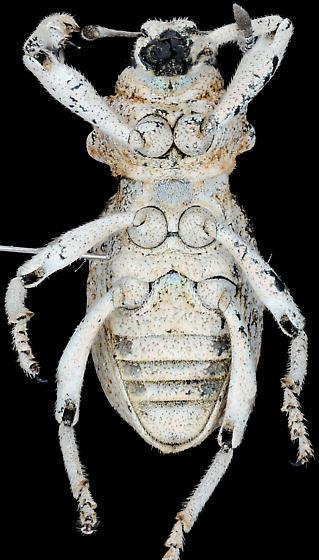 Ophryastes sp., ventral - Ophryastes tuberosus