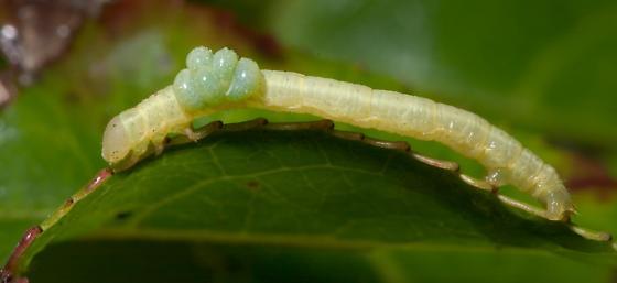 Caterpillar, with parasites - Euplectrus