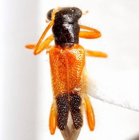 Isohydnocera c.f. schusteri (Leconte) - Isohydnocera schusteri