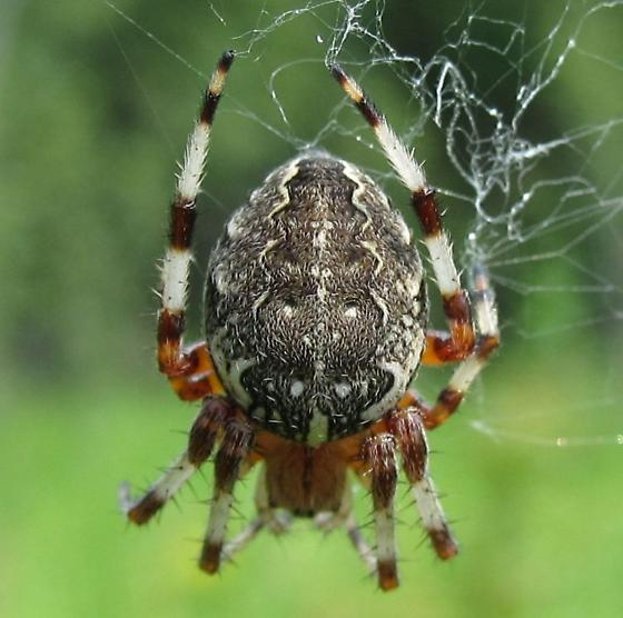 Adult female - Araneus marmoreus - female