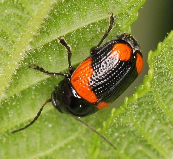 Leaf Beetle - Cryptocephalus notatus