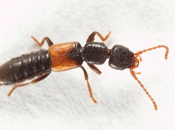 rove beetle - Medon rufipenne