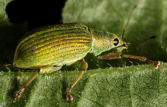 Coleoptera. Curculionidae. Polydrusus. - Polydrusus formosus