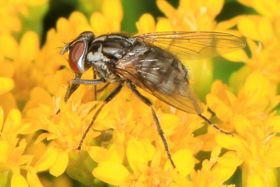 small Fly - Stomoxys calcitrans