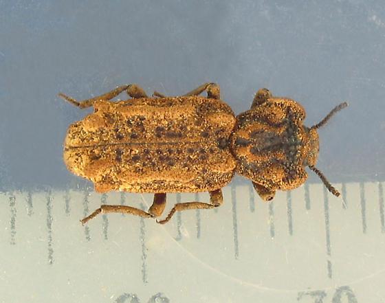 Conk ironclad beetle - Phellopsis obcordata