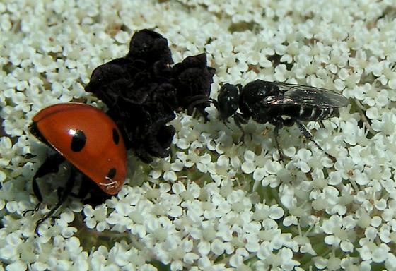 Tiny Wasp - Oxybelus uniglumis - female