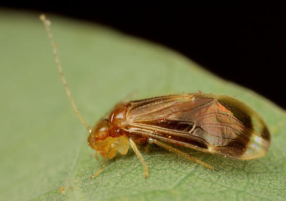 Psocid - Polypsocus corruptus