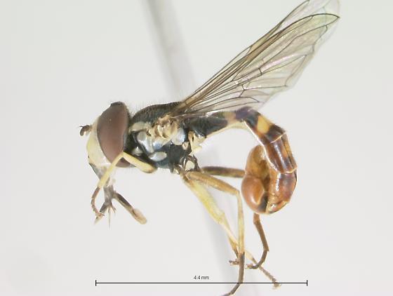 Syrphidae - Sphaerophoria contigua