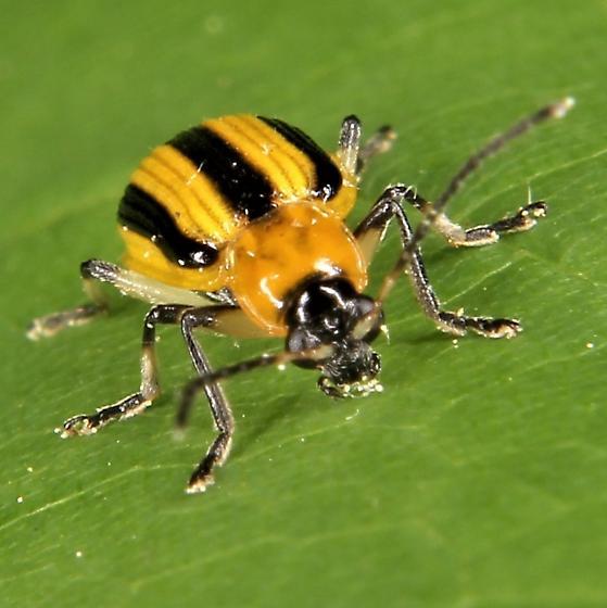 Acalymma vittatum - Striped Cucumber Beetle - Acalymma vittatum
