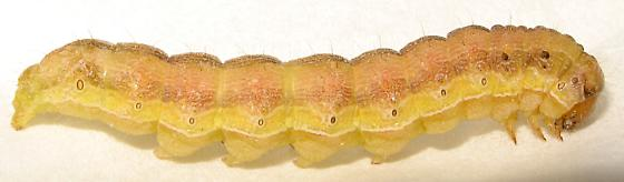 Another Caterpillar ID request - Helicoverpa zea