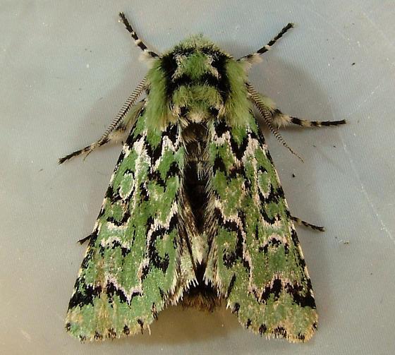 Feralia deceptiva - Deceptive Sallow Moth 10006 - Feralia deceptiva