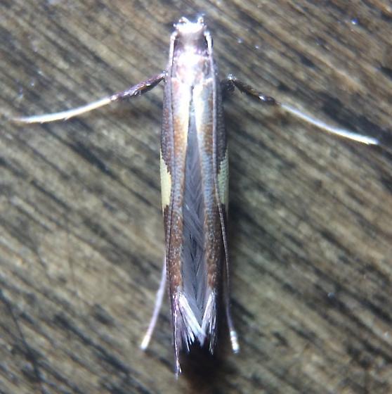 Caloptilia
