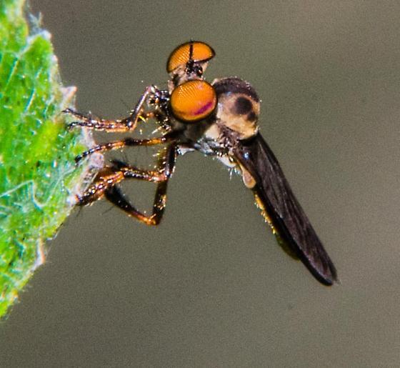 Robber fly? - Holcocephala