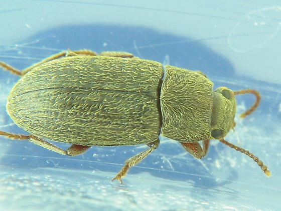 Quite hairy Blapstinus (Tenebrionidae) - Blapstinus histricus
