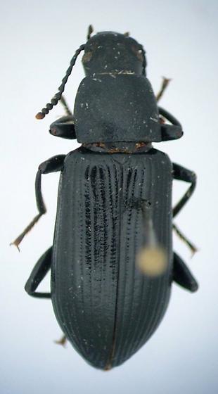 Xylopinus saperdioides - Xylopinus saperdoides