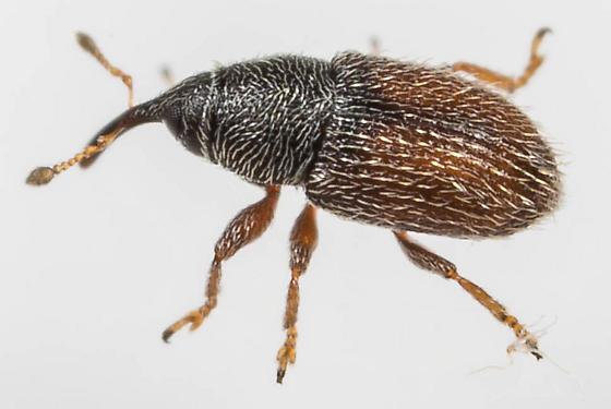 Weevil - Mecinus pascuorum
