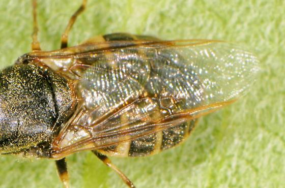 Odontomyia pubescens? - Odontomyia