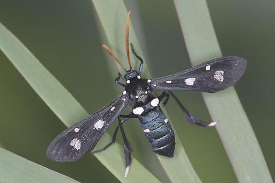 Lesser Wasp Moth - Pseudocharis minima - female