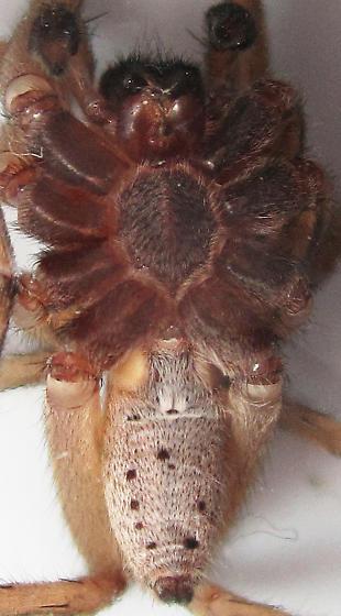 Dotted Wolf Spider - Rabidosa punctulata - male
