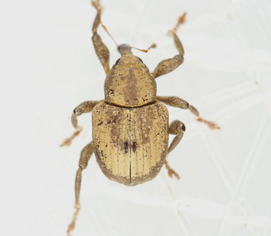 Weevil - Neochetina bruchi