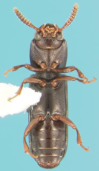 Teneb - Corticeus opaculus
