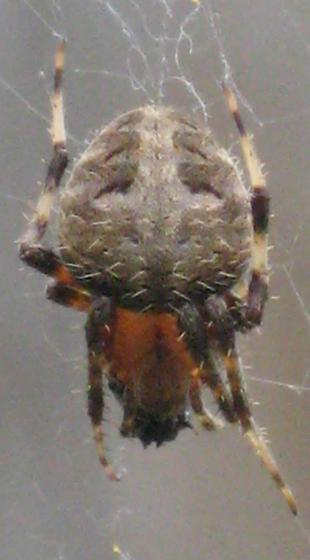 Spider with black and yellow belly - Neoscona crucifera