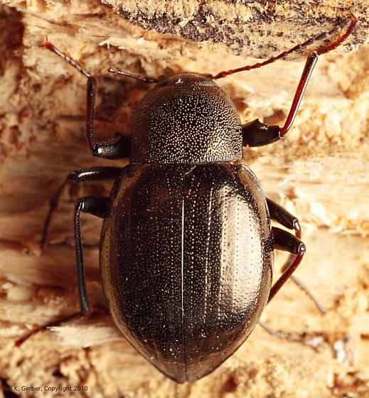 Darkling Beetle - Meracantha contracta