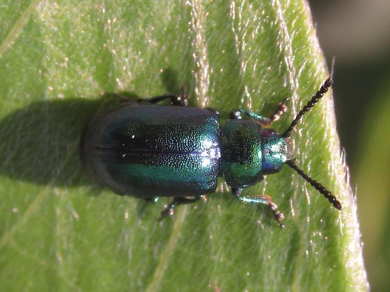Chrysomelidae - Gastrophysa cyanea