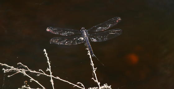 Unknown Dragonfly