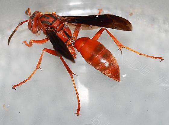 Paper Wasp - Polistes rubiginosus - female