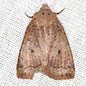 Variable Sallow Moth - Hodges #9941 - Sericaglaea signata