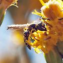 Black and white wasps on Scale-Broom #3 - Philanthus gibbosus