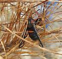 Oak stump borer - Paranthrene asilipennis - female