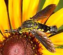Bombyliidae - Lepidophora lepidocera