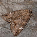 Big moth - Euparthenos nubilis