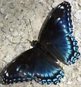 nymphalid - Limenitis arthemis