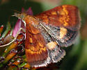 Probably Pyrausta californicalis - Pyrausta californicalis
