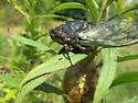 Cicada ID request - Neotibicen lyricen