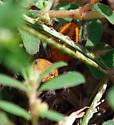 3rd view - Phidippus cardinalis