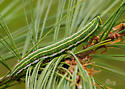 northern pine sphinx - Lapara bombycoides