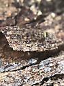 Springtail 4 - Orchesella cincta