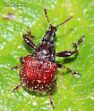 Curculionoidea - Himatolabus pubescens
