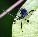 leaf footed bug - Acanthocephala terminalis