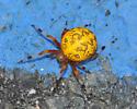 Spider - Araneus marmoreus