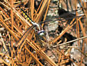 Great Blue Skimmer (juvenile) - Libellula vibrans - female