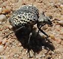 Desert Spider Beetle - Cysteodemus armatus - Cysteodemus armatus