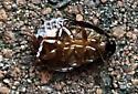 Black Segmented Beetle